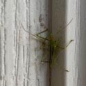 Pale Green Assassin Bug