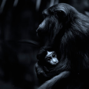 Loving and Protecting by Amril Nuryan - Animals Other Mammals ( mother, white, children, forest, mother's day, black, mammal, monkey, animal )