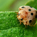 Eggplant ladybug