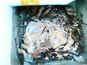 Photo: 結果発表! 井上さんのイケスです。 光が入って見にくいですが、とてつもなく釣ってます。 飲み込んだやつは、クーラーBOXに入っていますから・・。