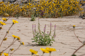 """Photo: Captured during my landscape photography workshop during Death Valley's """"superbloom"""" March, 2016."""
