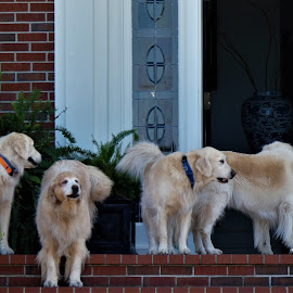 silence is golden. by Denise O'Hern - Animals - Dogs Playing