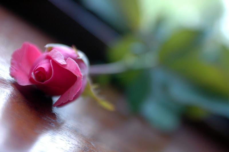 Delicatezza...rosa di Toninola