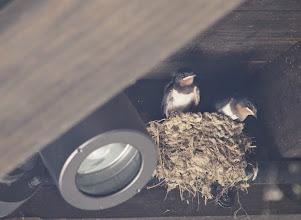 Photo: 撮影者:粕谷和夫 ツバメ タイトル:高尾山の山頂付近で営巣するツバメ 観察年月日:2014年8月4日 羽数:4羽(親2+雛2) 場所:高尾山の山頂手前のトイレ 区分:繁殖5① メッシュ:与瀬9E コメント:1号路山頂手前のトイレにツバメが営巣し、巣中に巣立ち直前にヒナが2羽いて、親が餌運びをしていた。