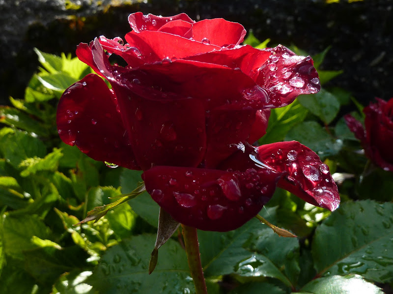 Rugiada sulla Rosa di simona_ravizza