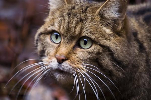 Wild Cat di ingirogiro