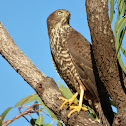 Brown Goshawk (juvenile)
