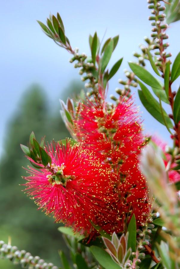 Callistemon .. by Joseph Muller - Flowers Tree Blossoms ( callistemon, callistemon ..,  )