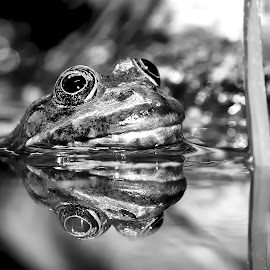 Frog reflexion n00101 by Gérard CHATENET - Animals Reptiles