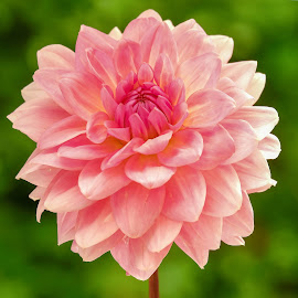 Pink Dahlia #2 by Jim Downey - Flowers Single Flower ( red, pink, green, white, dahlia )