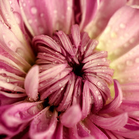 Circle of petals. by Dipali S - Nature Up Close Flowers - 2011-2013 ( water, pink flower, nature, petals, flora, drops )