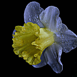 Affodil by Pieter J de Villiers - Flowers Single Flower