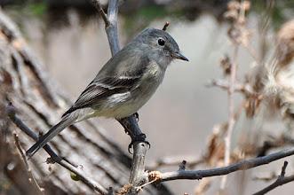 Photo: Grey Flycatcher (Trockenbusch-Schnäppertyrann); San Miguel Allende, GTO