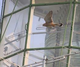 Photo: Tornfalk - Falco tinnunculus - Common Kestrel NF Photo 111004, Falsterbo Fyr http://nfbird.blogspot.com/2011/12/tornfalk-falco-tinnunculus-common.html