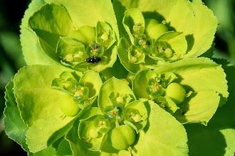 Photo: Euphorbia helioscopia, euforbia calenzula, sun spurge