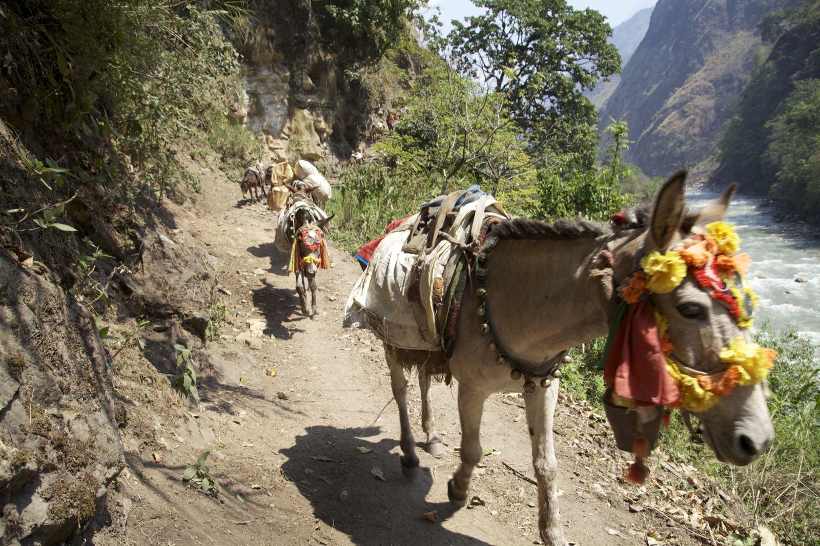 Mule on manaslu trek