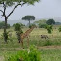 giraffe(maasai) and zebra