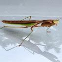 Chinese narrow winged Mantis
