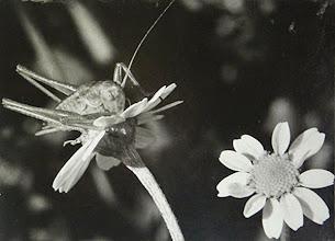 Photo: La grande sauterelle verte sur une fleur de camomille matricaire - Elle a perdu une antenne - Lubéron (04) - 1974.