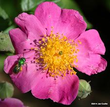 Photo: Bee on a prairie rose.