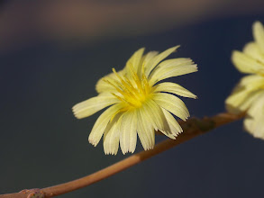 Photo: Lactuca serriola
