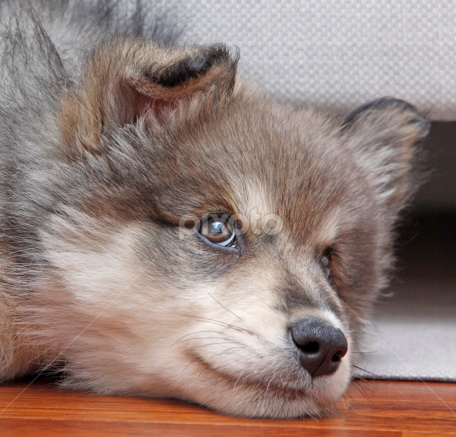 Glancing by Mia Ikonen - Animals - Dogs Puppies ( finnish lapphund, finland, expressive, endearing, cute,  )