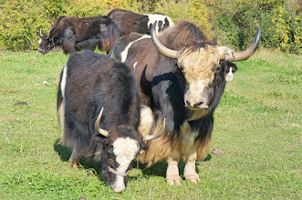 Photo: Wild yaks are generally dark, blackish to brown, in colouration. However, domestic yaks can be quite variable in colour, often having patches of rusty brown and cream.