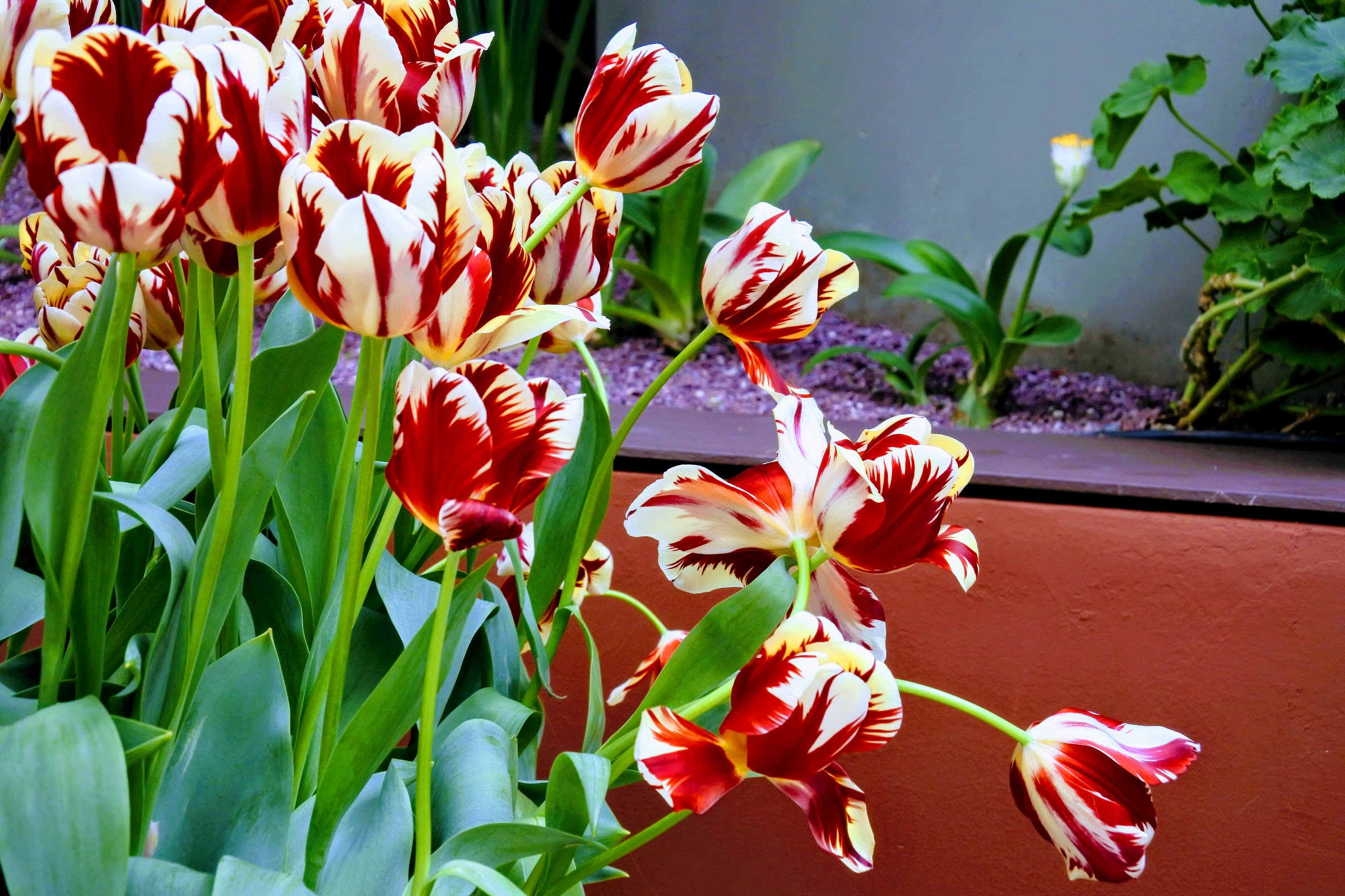 Tulips at Tulipmania