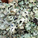 Cracked-shield lichen