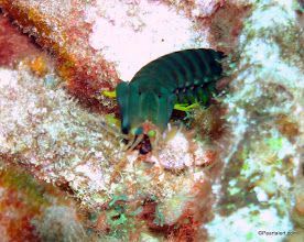 Photo: Dark Mantis Shrimp: first time seeing and photographing