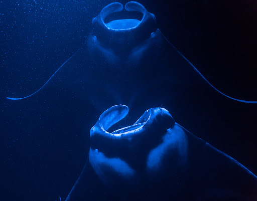 Two mantas feeding