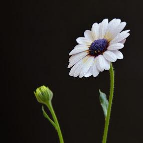 White Flora by Arsalan Sandhila - Flowers Single Flower ( white flower, water drops, gardening, autumn colours, flower )