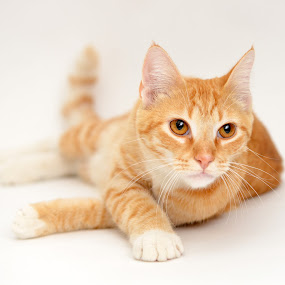 Orange Tabby by Josh Norem - Animals - Cats Portraits
