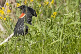 Photo: Red-winged Blackbird (Rotflügelstärling); Kingston, ON