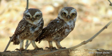 Photo: Spotted Owlet