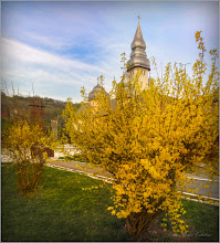 Photo: Ploaia de aur (Forsithya) - Turda, Str. Salinelor - 2019.04.05