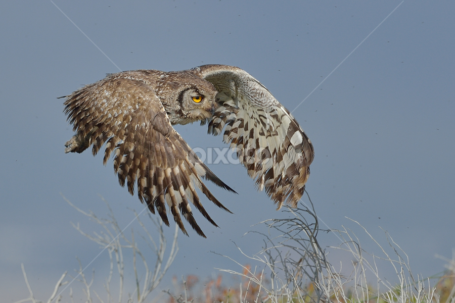 Wild Owl by Neal Cooper - Animals Birds ( spotted eagle owl )