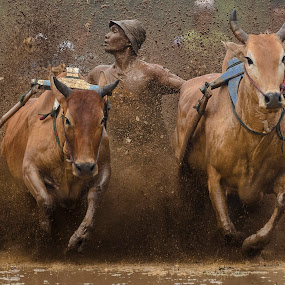 COOL by Teddy Winanda - Sports & Fitness Other Sports ( cattle race, indonesia travel, minangkabau, indonesia tourism, racing cows, pacu jawi, cattle )