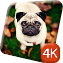 Lovely Pug Dogs 4K Live icon