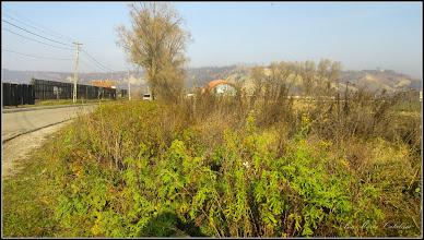 Photo: Vetrice (Tanacetum vulgare) - de pe Intr. Stadionului - 2016.11.26