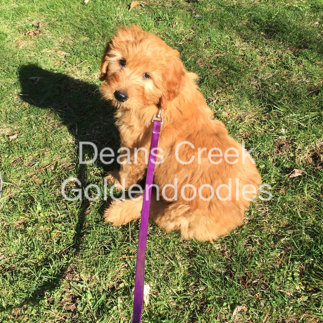 Deans Creek Doodles Goldendoodle Puppies Utica Rome