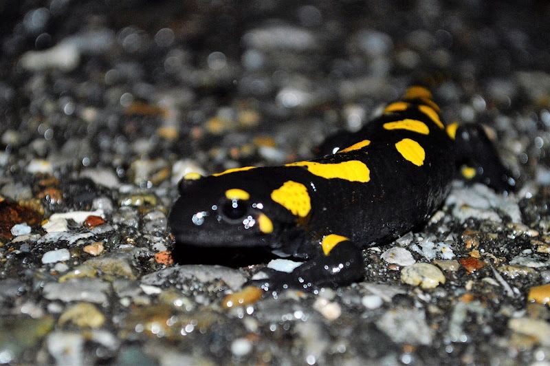Salamandra! di Carmelo Baglivo
