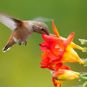 Like an Angel  by Dan Pham - Animals Birds
