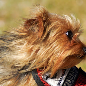 Scruffy by Don Kuhnle - Animals - Dogs Playing ( dogs, distracted, windy, florida, beach )
