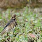 Ardeola bacchus 池鷺