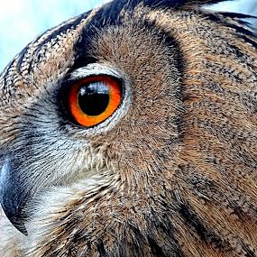 eurasian eagle owl by Becky Wheller - Animals Birds ( bird, eagle, owl, eyes, animal )