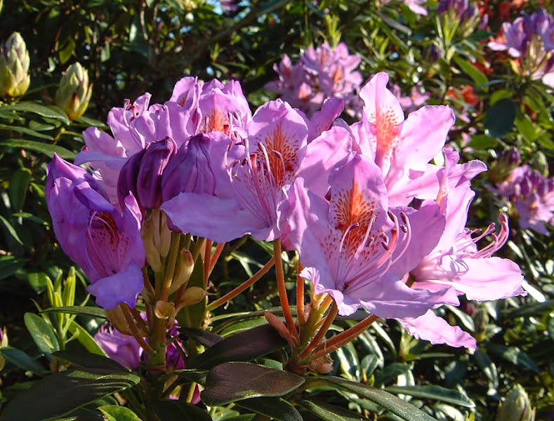Photo: Another rhododendron is flowering