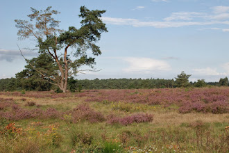 Photo: bloeiende heide;