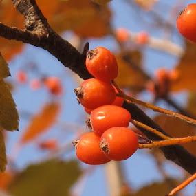 by Bozidarka Scerbe Haupt - Nature Up Close Trees & Bushes ( orange, sky, tree, autumn, berries )