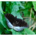 Lexias pardalis 小豹律蛺蝶